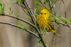 _D803812.jpg (David Hamments) Tags: bird yellowwarbler pointpeleenationalpark ontario fantasticnature