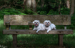 Scamp and Peggy (Wayne Cappleman (Haywain Photography)) Tags: wayne cappleman haywain photography portrait photographer farnborough hampshire southwood woodlands pet pets dog dogs pug chihuahua chug twins posing