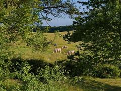 Daily view ..... (louise peters) Tags: view uitzicht koeien cows charolais garden tuin boomgaard orchard creantay burgundy bourgondië bourgogne france frankrijk green groen grass landscape landschap doorkijkje
