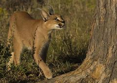 Caracal Namibia E48G0815 (susan yeomans) Tags: namibia namibiaetosha etosha etoshanationalpark africa wildlife cat feline