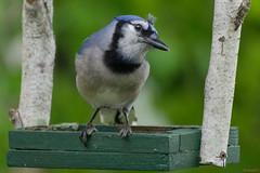Geai Bleu, PQ, Canada - 5355 (rivai56) Tags: plume sur la tête saintgeorges quebec canada ca blue jay