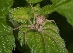 Philodromus species - Running crab spider (explored) (Anne Richardson) Tags: spider arachnid wildlife nature macro macrophotography philodromus runningcrabspider strumpshawfen norfolk