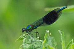 Predator..... (klythawk) Tags: bandeddemoiselle calopteryxsplendens damselfly male nature wildlife leaves lightcloud insect green blue brown black olympus omd em1mkll 100400mm panasonic leica totonfields nottingham klythawk
