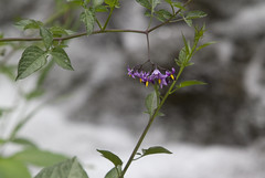 Deadly Nightshade (brucetopher) Tags: purple wildflower weed pepper poisonous poison danger dangerous harmful flower bloom blossom plant flora nature natural outdoor forest woods hiking getoutside outside pollen pistil stamen 7dwf