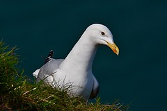 Seagull (laridae) (victorhobson55) Tags: laridae seagull d7200 wonderful noiisy summer detail light stunning 600f4 lens prime nikon beautiful seabird bempton cliffs predator