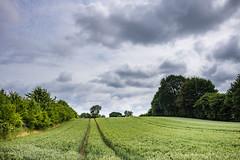 Wheat (24.06.2018) (Siebbi) Tags: wheat weizen getreide cereal cereals grain crop nature natur pflanze plant landwirtschaft agriculture farming feld field sky himmel clouds wolken