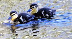 Pair of ducklings. (artanglerPD) Tags: pair ducklings reflections