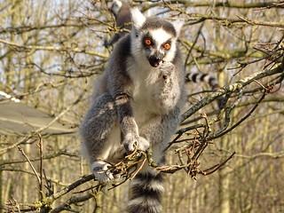 Ring-tailed lemur - whatsup