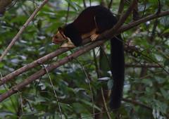 Malabar giant squirrel (praveen.ap) Tags: malabar giant squirrel malabargiantsquirrel indian indiangiantsquirrel shendurney shendurneywildlifesanctuary thenmala kerala
