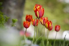 Colorful tulips (Martin Bärtges) Tags: farbenfroh colorful blossoms blumen blüten flowers macrophotography makro macro makrofotografie naturephotography naturfotografie nature tulpen tulips