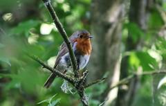 June Robin (ekaterina alexander) Tags: june robin european erithacus rubecula bird wild ekaterina alexander tree branches branch summer england sussex nature photography pictures