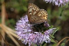IMG_4506 (edward_rooks) Tags: sierraazulopenspacepreserve bald mountain mount umunhum insects wildflowers butterflies bees wasps assassin bug