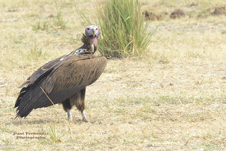 Lappet-Faced Vulture Looking  at you from Chobe National Park, Botswana