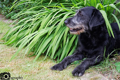 Leroy Hiding (Mike House Photography) Tags: dog labradoodle labrador poodle pet hiding garden outdoor grass plants soil green yellow black fur long hair mouth snout face ears soft love happiness cooling down