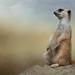 Meerkat Suricata