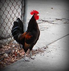 An Announcement (gatorgalpics) Tags: rooster keywest keywestchickens