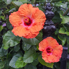 Duo fleur (Adaptabilly) Tags: louisiana iphone usa fence foliage flower travel neworleans unitedstates us