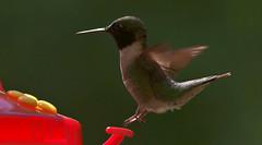 Ruby Throated Hummingbird (kearneyjoe) Tags: tidnish novascotia rubythroatedhummingbird