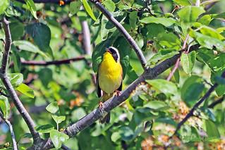 Common Yellowthroat 18-0512-7063