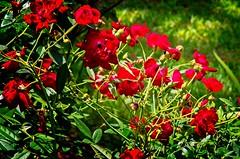Reds 66 (LarryJay99 ) Tags: washedashore mountsbotanicalgardens palmbeachcounty litter trash refuse plastics art arts artcraft greenery plants green