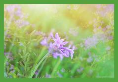 flowerscape (NadzNidzPhotography) Tags: nadznidzphotography flowers flowerscape purple green sunlight flora nature naturephotography garden