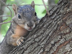 Here's Looking At You (StraightEdgeSmurf) Tags: squirrel