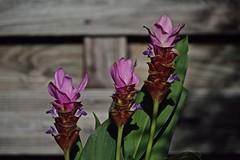 Backyard Blooming (ACEZandEIGHTZ) Tags: curcuma ginger blooms flowers nikon d3200 siamtulip macro closeup fence bokeh