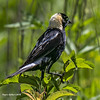 Bobolink (jackalope22) Tags: bobolink bird animal wildlife blackbird male