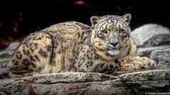 Rock Steady (Robert Streithorst) Tags: cincinnatizoo robertstreithort snowleopard zoosofnorthamerica bigcat