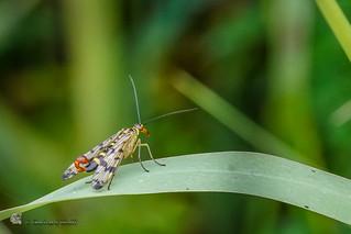 Panorpa communis, ♂, Common scorpionfly, Gemeine Skorpionsfliege