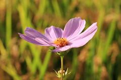 IMG_1651M Cosmos (陳炯垣) Tags: cosmos nature flower petal sunshine コスモス