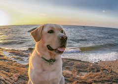 Enjoying the Beach (lablue100) Tags: dog lab labrador retriever yellowlab labradorretriever animals boulders sand water sea beach nature colors action sunset love