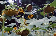 Sunflowers (odeleapple) Tags: nikon f100 af nikkor 28mm kodaksupergold400 film sunflower