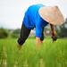 Farmer weeding her rice field