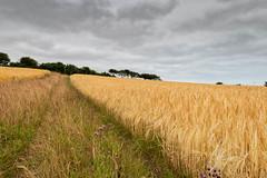 Barley Field (andybam1955) Tags: coastal barley northnorfolk landscape rural norfolk clouds