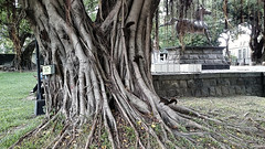 Three squirrels - Taichung Park (葉 正道 Ben(busy)) Tags: 台中 台灣 台中公園 水 taichungˍpark taiwan park 公園 樹 tree taichung 風景 landscape squirrels 松鼠
