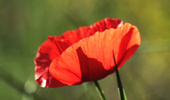 poppy (Robert ALBIANI) Tags: fleur flower coquelicot poppy rouge red transparence contrejour