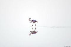 Greater Flamingo (Corine Bliek) Tags: saltpans phoenicopterusroseus vogel vogels bird birds roze rose lake meer nature wildlife natuur lesbos zoutpannen lesvos reflection reflectie pink water space white wit leegte