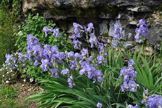 Les iris de Montbrun, Quercy, Lot, Occitanie, France.