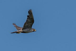 Peregrine Falcon at Ocean City