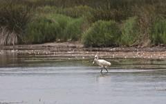 Spatule blanche - IMBF3227 (6franc6) Tags: réserve pontdegau 13 camargue bouchesdurhône france 6franc6 juin 2018