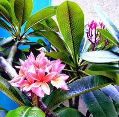 plumeria2 (arepax68) Tags: plumeria frangipani brightcolors summer tropical leaves branches flowers