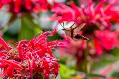 07122018-209-1 (Bill Friggle Photography) Tags: hummingbirdmoth moth hummingbird flight flower flowers flying fast challenging nikon nikond600 nikon200500 200500 500mm nature bugs