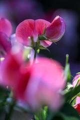 Sweet Peas (haberlea) Tags: garden mygarden plant flowers sweetpeas macro nature