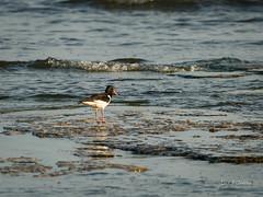 _DSC3528.jpg (fotolasse) Tags: sonyölandormvråkfåglar öland natur kalmar ottenby långejan fyr canon sony bird birds fåglar vatten hav water sea sweden sverige