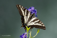 Tiger Swallowtail 501_0984.jpg (Mobile Lynn) Tags: nature butterfly insects fauna insect wildlife nanaimof britishcolumbia canada ca