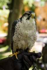 Flight of the Raptor! (Pahz) Tags: raptor flightoftheraptor falcon salim lannerfalcon bristolrenaissancefaire brf2018 renaissancefaire renfaire renaissancefairephotographer pattysmithbrf nikond7200 tamron16300mm tamron