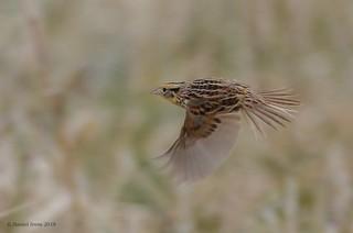 Leconte's Sparrow (rare)