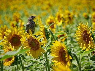 Bird enjoying sunflowers - EMA76244