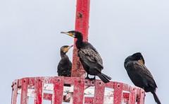 001 (dunraven48) Tags: birds northernireland sigma150500mm canon7d rspb wildlife